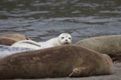 Los leones marinos de California y los sellos de elefante septentrionales se ven en Costa del Pacífico del ` s de Sonoma foto de archivo