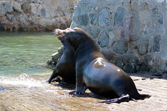 Los leones marinos masculinos de California que luchan en el barco del puerto deportivo lanzan en Cabo San Lucas Baja MEX fotografía de archivo libre de regalías