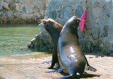 Los leones marinos masculinos de California que luchan en el barco lanzan en Cabo San Lucas MEX fotografía de archivo libre de regalías