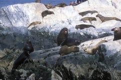 Los leones marinos meridionales en rocas acercan al canal del beagle y tienden un puente sobre las islas, Ushuaia, la Argentina m Foto de archivo libre de regalías