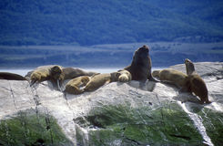 Los leones marinos y los cormoranes meridionales en rocas acercan al canal del beagle y tienden un puente sobre las islas, Ushuai Fotografía de archivo libre de regalías