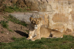 Los leones rumanos rescatados Imagen de archivo libre de regalías