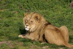 Los leones rumanos rescatados Imágenes de archivo libres de regalías