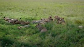 Los leones salvajes africanos mienten y descansan en la sombra de los arbustos que se escapan del calor almacen de video