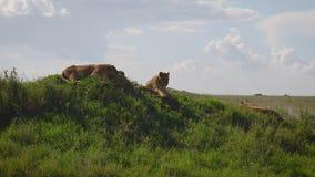 Los leones salvajes están mintiendo en una colina en la sabana africana almacen de metraje de vídeo