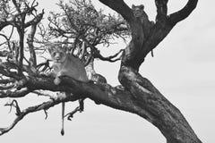 Los leones suben un árbol Imagen de archivo