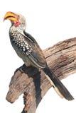 Los leucomelas amarillo-cargados en cuenta meridionales de Tockus del hornbill, aislados en blanco Imagenes de archivo