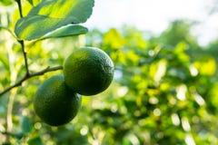 Los limones del verde del vintage Fotografía de archivo