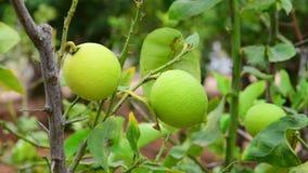 Los limones verdes inmaduros en una rama metrajes