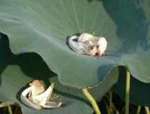 Los lirios asiáticos con los pétalos de la flor blanca recolectaron dentro Fotografía de archivo