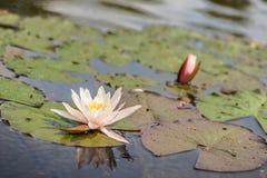 Los lirios de agua blanca florecientes florecen en el lago fotos de archivo