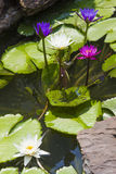 Los lirios de agua coloridos se cierran para arriba Fotos de archivo libres de regalías