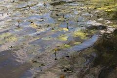 Los lirios de agua en el agua Foto de archivo libre de regalías