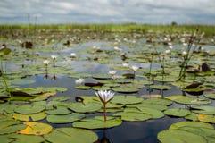 Los lirios de agua vistos durante un Mokoro disparan en el delta de Okavango imagenes de archivo