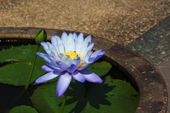 Los lirios púrpuras están floreciendo en la charca Fotografía de archivo libre de regalías