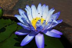 Los lirios púrpuras están floreciendo en la charca Imagen de archivo libre de regalías