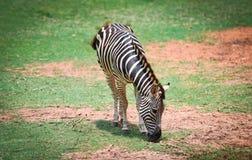 Los llanos africanos de la cebra pastan la hierba en el parque nacional imagen de archivo libre de regalías