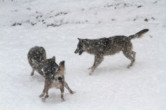 los lobos en la nieve Imagen de archivo libre de regalías