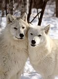 Los lobos árticos se cierran juntos en invierno Fotografía de archivo libre de regalías