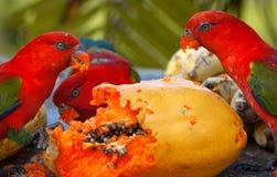 Los lorikeets del arco iris en un pesebre piden la comida. Fotografía de archivo