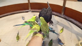 Los loros de los pájaros se sientan a mano y comen almacen de video