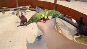 Los loros de los pájaros se sientan a mano y comen metrajes