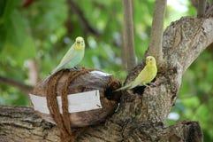 Los loros del verde amarillo en el coco jerarquizan el árbol Maldivas Imagen de archivo libre de regalías