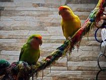 Los loros verdes y amarillos se están sentando en el primer de la cuerda Fotos de archivo libres de regalías