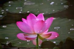 Los lotos en el lago Fotos de archivo