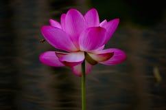 Los lotos en el lago imagen de archivo libre de regalías