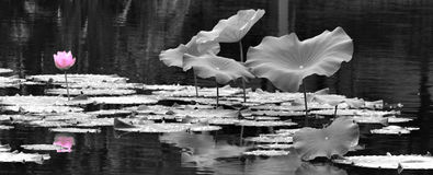 Los lotos en el lago fotografía de archivo