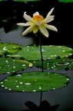 Los lotos en el lago Imágenes de archivo libres de regalías