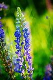 Los lupines azules florecen sobre fondo verde en jardín del verano o p foto de archivo libre de regalías