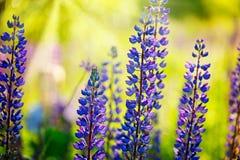 Los lupines azules florecen sobre fondo verde en jardín del verano o p imagenes de archivo
