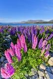 Los Lupines crecen como parte de la ecología en el lago Tekapo Fotografía de archivo libre de regalías