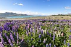 Los Lupines embellecieron el paisaje de Tekapo del lago Fotografía de archivo