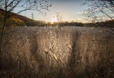 Los máximos de lámina salvajes del glyceria de los sweetgrass hicieron excursionismo igualando el sol Foto de archivo libre de regalías
