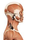 Los músculos de la cabeza ilustración del vector