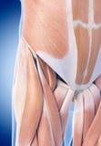 Los músculos de la cadera imágenes de archivo libres de regalías