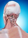 Los músculos del cuello stock de ilustración