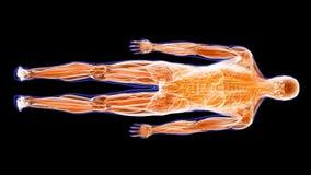 Los músculos del ser humano
