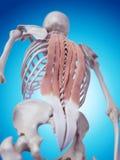 Los músculos traseros profundos stock de ilustración