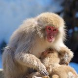 Los macaques japoneses miman al bebé de alimentación en Nagano, Japón Fotos de archivo libres de regalías