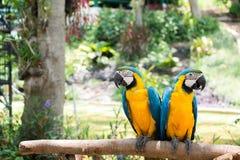 los macaws Fotografía de archivo