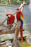 Los macaws del escarlata en una mariposa cultivan un huerto en Fort Lauderdale Foto de archivo libre de regalías