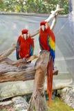 Los macaws del escarlata en una mariposa cultivan un huerto en Fort Lauderdale Imagen de archivo