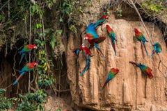 Los Macaws en arcilla se lamen en la selva peruana del Amazonas en Madre de Di Imagenes de archivo