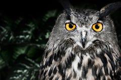 Los males de ojo Eagle Owl, bubón del bubón Fotografía de archivo