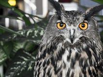 Los males de ojo Eagle Owl, bubón del bubón Imagenes de archivo