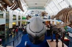 Los mamíferos grandes Pasillo en el museo de la historia natural en Londres foto de archivo